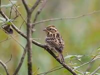 茂みのカシラダカ - コーヒー党の野鳥と自然 パート2