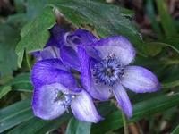 泉自然公園の山野草の花 - 花と葉っぱ
