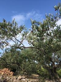 オリーブの収穫、残念ながら終了。 - Croatian Blue クロアチア・ン ブルー