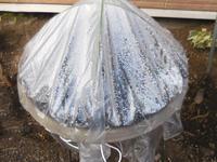 ビオラのミニ温室 - ヨガと官足法で素敵生活