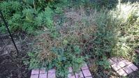 ロックガーデンエリアの草取り - うちの庭の備忘録 green's garden