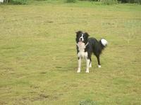ちょっと本当の牧羊犬っぽい - テトだもん!