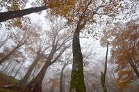 霧に包まれたブナの森国見山 - 峰さんの山あるき