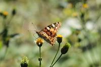 ■センダングサと蝶 3種18.11.1(ヒメアカタテハ、チャバネセセリ、ウラナミシジミ) - 舞岡公園の自然2