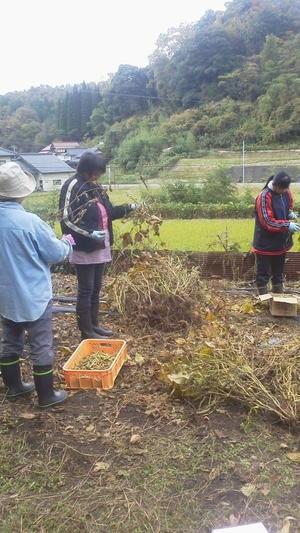 赤大豆の収穫② -