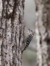 戸隠にいたコゲラです - コーヒー党の野鳥と自然 パート2