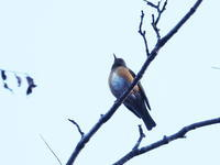 森林植物園にはアカハラもいた - コーヒー党の野鳥と自然 パート2