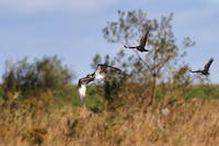 カラスに追われる猛禽ミサゴ - 野鳥公園