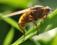 ヒメフンバエ おすScatophaga stercoraria - 写ればおっけー。コンデジで虫写真