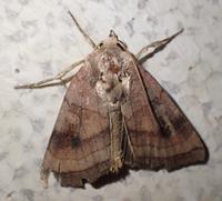 タバコガ? Helicoverpa assulta assulta? - 写ればおっけー。コンデジで虫写真