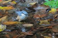 水場のゴジュウカラ - 上州自然散策2