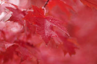Autumn Red - ∞ infinity ∞