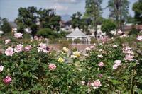 秋薔薇が敷島公園へ - 季節の風を追いかけて