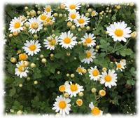 菊と雪虫と槙の実 - マリカの野草画帖