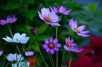 庭のコスモス - ひな日記