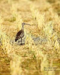 チュウシャクシギの長さが丁度よい - THE LIFE OF BIRDS ー 野鳥つれづれ記