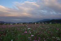 橿原市藤原宮コスモスの夕暮 - ぶらり記録 2:奈良・大阪・・・