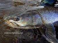 TEALツアーin北海道・イトウ釣行記のご報告です。 - Fly Fishing Total Support.TEAL