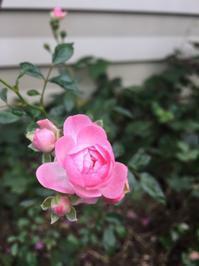 小さな薔薇 - 今日もひとつだけ