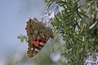 ●● チョウに人気・・・・・・・ローズマリーにヒメアカタテハ ●● - kameのフォトブック2