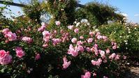 秋のバラ公園とちょっと買い物 - 今から・花