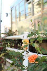 鉄路に咲くバラ - 花は桜木、
