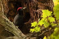 クマゲラ - 北の野鳥たち