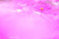 Mer rose - Une fleur