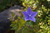 天龍寺塔頭妙智院に咲く花々 - たんぶーらんの戯言