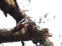 黄葉の戸隠でアカゲラ見つけた - コーヒー党の野鳥と自然 パート2