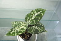 "Aglaonema pictum ""Padang sidempuan"" - PlantsCade -2nd effort"