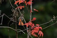 紅葉の中を舞うジョビ姫さん - ベジタブルpartⅤ(鳥と共に日々是好日)