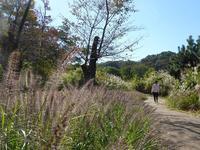 今日はすすき日和♪仙石原には行かれないけど狭山公園のすすき野原も穴場だよ♪ - ルソイの半バックパッカー旅