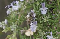 ●● 花の構造に・・・・背中が花粉まみれのニホンミツバチ ●● - kameのフォトブック2