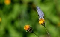 晴れの特異日 - 紀州里山の蝶たち
