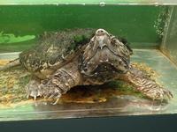 ワニガメと人食いナマズと子守をするカエル(東京タワー水族館) - 続々・動物園ありマス。