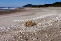 湧いたよサトウガイ - Beachcomber's Logbook