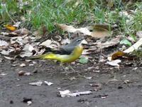 キセキレイ・ジョウビタキ♀・・・日野 - 浅川野鳥散歩