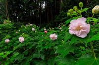 酔芙蓉咲く寺(大乗寺) - 花景色-K.W.C. PhotoBlog