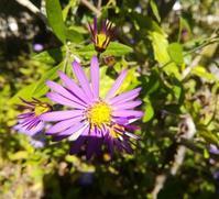 深まる秋の紫… - 侘助つれづれ