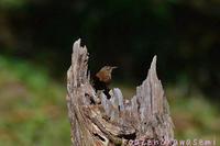 秋のミソサザイ - 気ままな生き物撮り