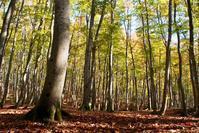 紅葉の美人林 - 松之山の四季2