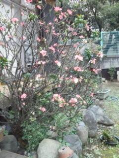 ボケの花 -