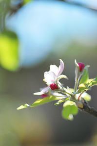 11/6リンゴの花咲く季節? - 「あなたに似た花。」
