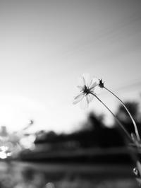 夕日とコスモス - 節操のない写真館
