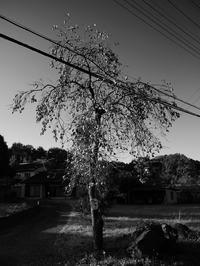 柿の木 - 節操のない写真館