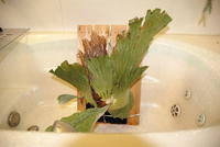 "Platycerium elephantotis ""Cameroon"" - PlantsCade -2nd effort"