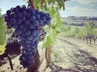 約一年ぶりの - Life in Tuscany...トスカーナのワイナリーで美味しい生活