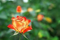 里見公園で秋の薔薇 - いや、だから 姉ちゃん じゃなくて ネイチャー・・・