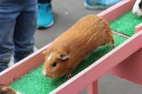 逆走モルモットと小動物コーナーの思い出(埼玉県こども動物自然公園) - 続々・動物園ありマス。
